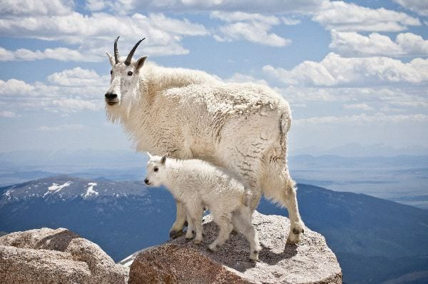 capricorn mountain goat